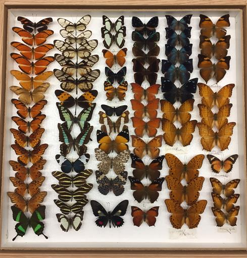 Drawer of Lepidoptera specimens